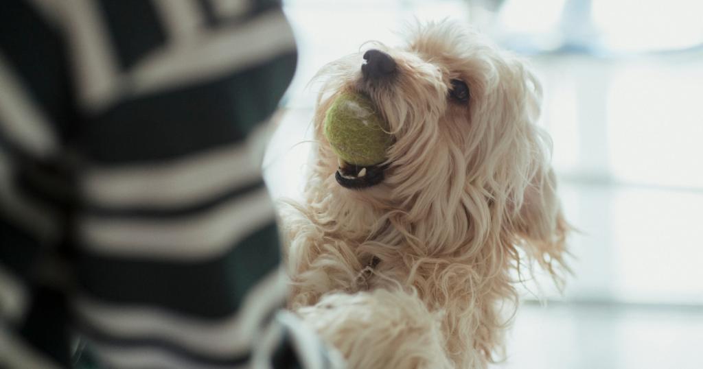 Labradoodle hond klaar om te spelen